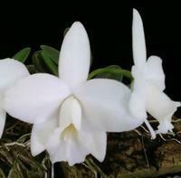 Cattleya pumila f. alba (Mountain Snowstorm' x 'Whiteout') [Laelia]