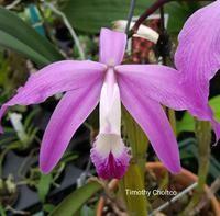 Cattleya perrinii x sib (Laelia)
