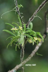 Thrixspermum merguense