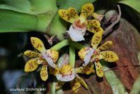 Gastrochilus patinatus