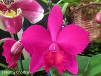 Cattleya Love Castle