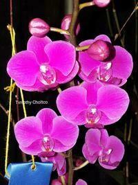 Phalaenopsis Queen Beer (pulcherrima x Meteor)-Double Spiked