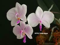 Phalaenopsis lowii