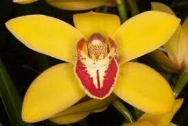 Cymbidium Here Comes Sunshine 'Rudy Throat'