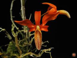 Dendrobium unicum ('Tangerine Tango' x 'Tangerine Dream' FCC/AOS)