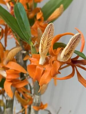 Dendrobium unicum ('Tangerine Tango' x 'Tengerian Jewel' FCC/AOS)