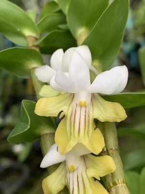 Dendrobium uniflorum x sib
