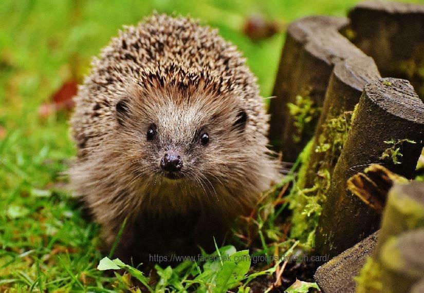 Hedgehog have hemp