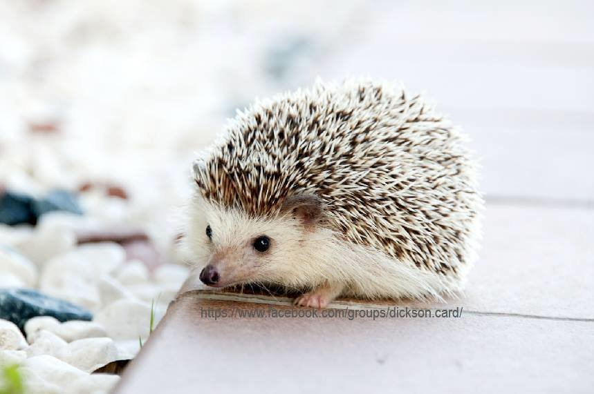 Hedgehog on a chair