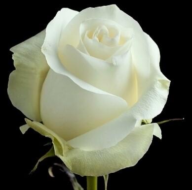Белоснeжная роза