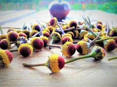 Fresh Buzz Button Flowers. Peek-a-boo variety.