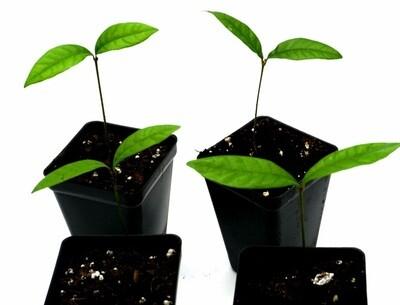 Live miracle fruit seedlings: Synsepalum dulcificum.