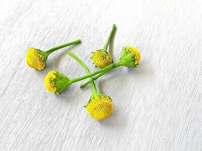 Fresh Buzz Buttons. Lemon Drop variety.