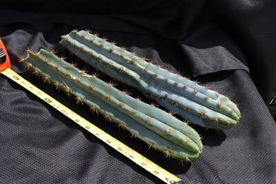 Cool cactus set #1