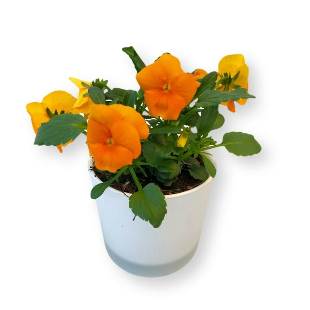 Hornveilchen orange 'Viola cornuta'
