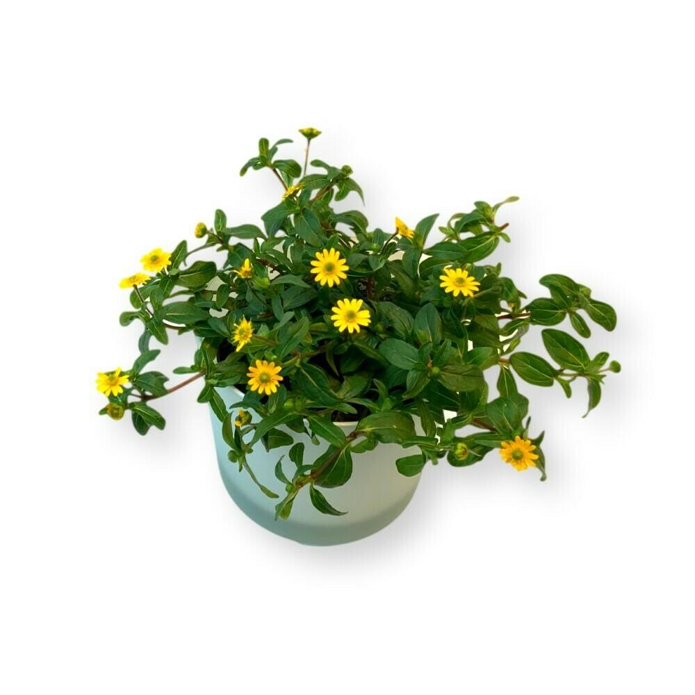 Husarenknopf 'Sanvitalia procumbens'