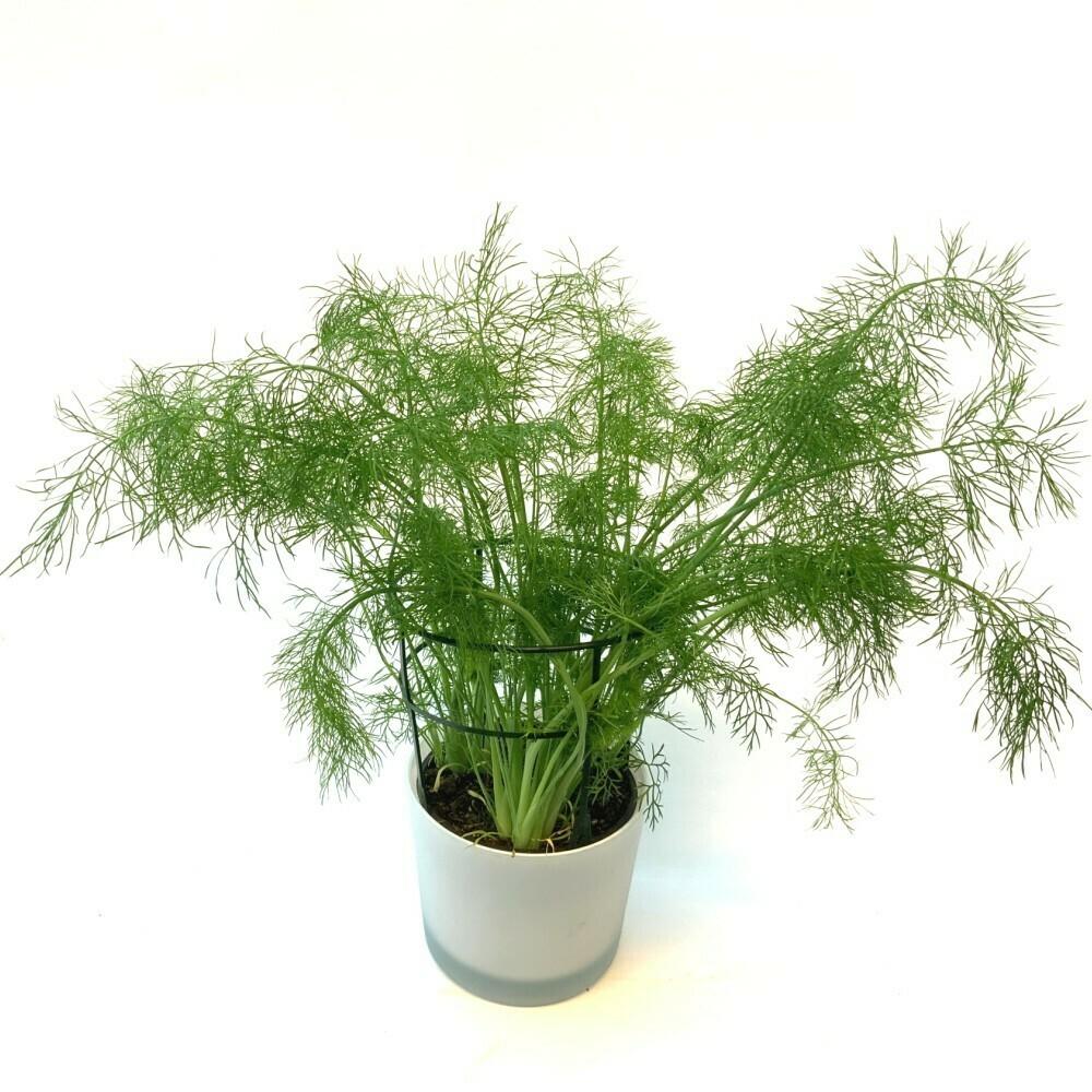 Fenchel 'Greeny' Foeniculum vulgare