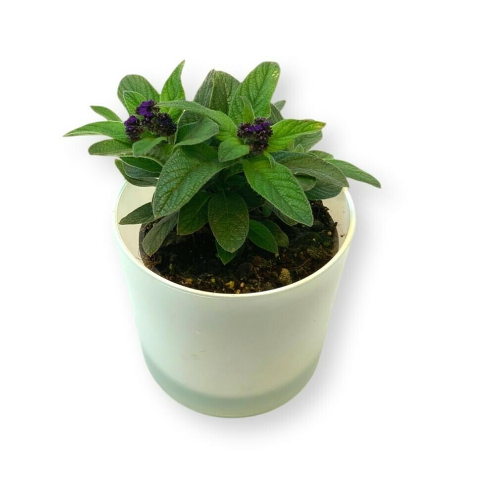 Vanilleblume 'Heliotropum arborescens'