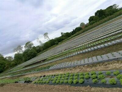 Plants de salades bio par 12 - bon plan