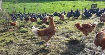 Filets de poulet x2 plein air (19 euros/kg)