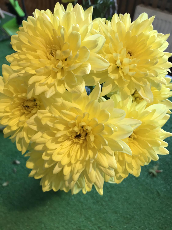 Хризантема кустовая Балтика желтая