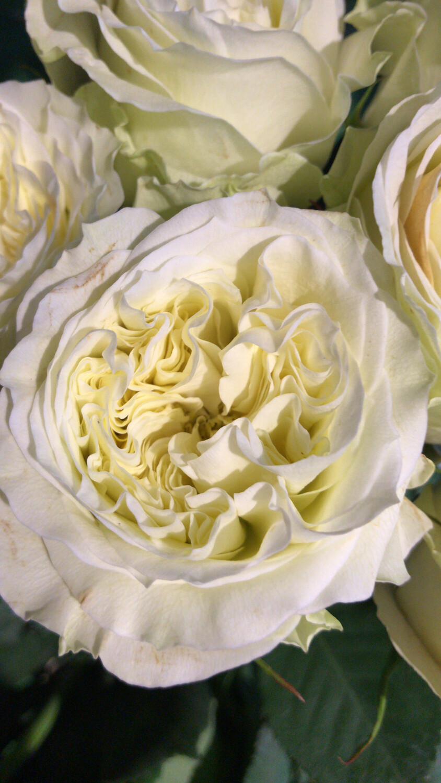 Роза майрас вайт