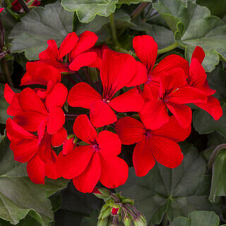 PRESALE - Caliente Fire Geranium Basket - No Pinching!