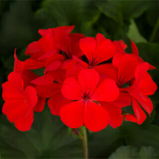 PRESALE - Caliente Orange Geranium Basket - No Pinching!