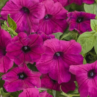 PRESALE - PINK SUPERTUNIA BASKETS