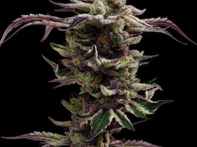 Green Bodhi Genetics Purple Pakistani X Sour 78