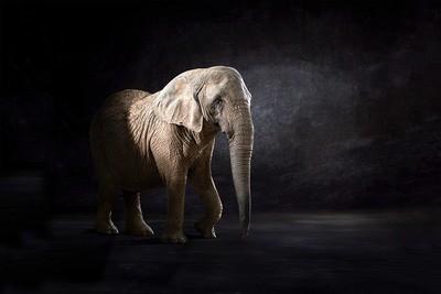 Elephas Africana - The Endangered Series, Elephant