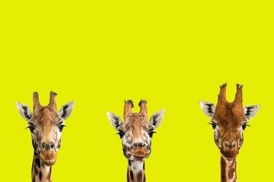 The Three Amigos - The Endangered Series