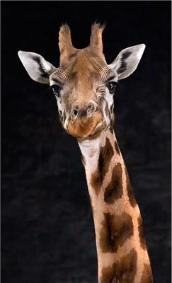 Harvey the Giraffe - The Endangered Series