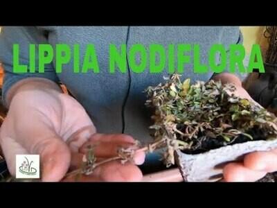 LIPPIA NODIFLORA