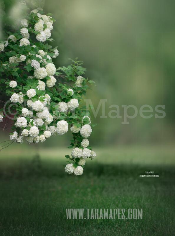Magnolia Bush - Spring Background - Creamy Background Flowering Bush  -  Digital Background / Backdrop
