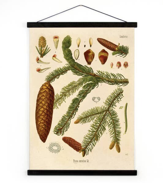 Vintage Canvas- Coniferae Series