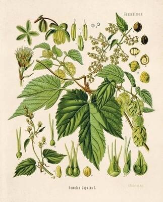 Vintage Botanical Beer Hop Flower Print