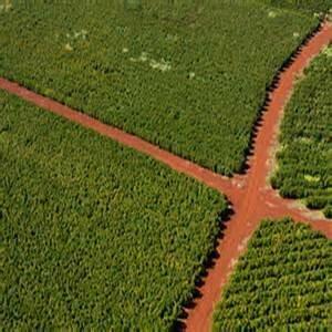 Brazil - Ayabas (Green Beans)