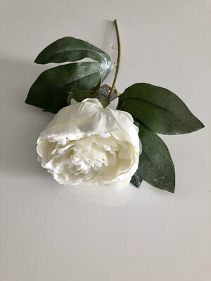 White Snow Touched Rose