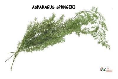 Asparagus Sprengeri / Green