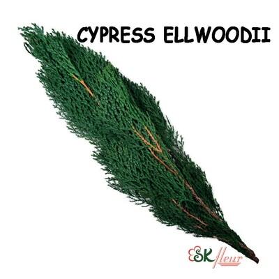 Cypress Ellwoodii / Green