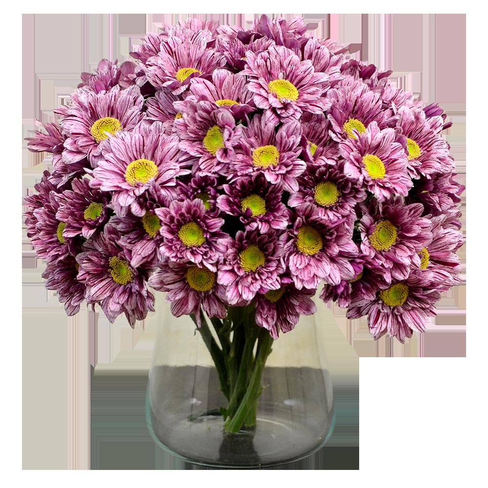 Fialovo-biela chryzantéma