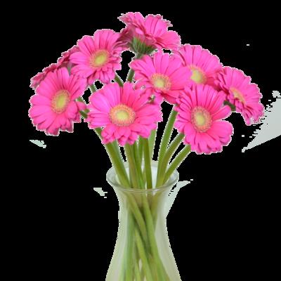 Ružová gerbera
