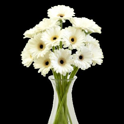 Biele gerbery