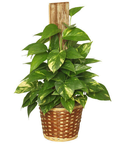 Ivy Golden Pothos Plant