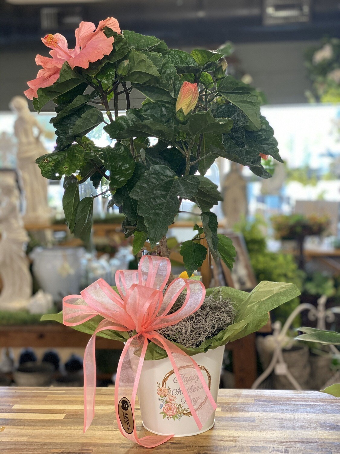 Hibiscus in a Mother's Day Pot