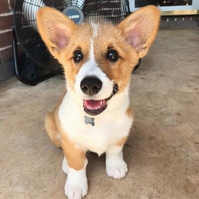 Javis corgi puppy