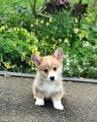Ina corgi puppy