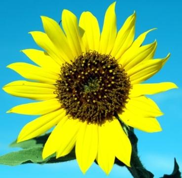 Sunflower Carrier Oil 8 fl oz (240 ml)