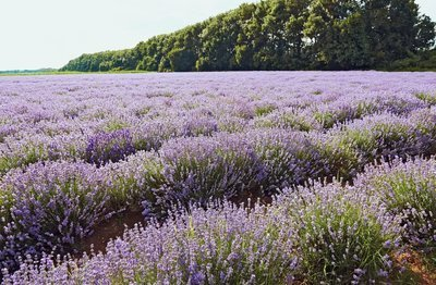 Lavender, Bulgarian Organic Pure Essential Oil GC Report